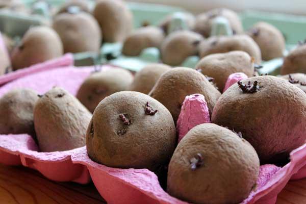 chitting-seed-potatoes