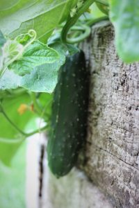 outdoor cucumber